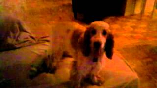 """Callie English Cocker Spaniel Protects Her Mommy From Daddy Attacks """"i'm Going To Get Mommy!!!"""""""