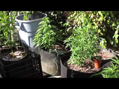 BIGKUSH BOTTLE OPENER & FABRIC POT ROOT RESULTS * THE BIGKUSH GARDEN WEST OF PCH  OC CALIFORNIA