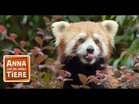 Wo Versteckt Sich Der Rote Panda Doku Reportage Fur Kinder Anna Und Die Wilden Tiere Youtube