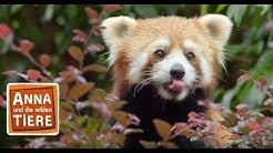 Wo versteckt sich der Rote Panda? (Doku) | Reportage für Kinder | Anna und die wilden Tiere