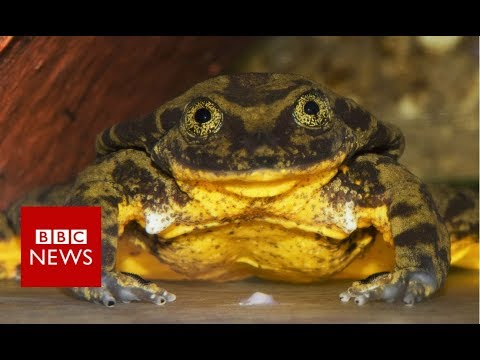 World's loneliest frog finds a possible mate - BBC News