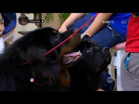 Gemasnya Bulu Lebat Si Tibetan Mastiff Ini!