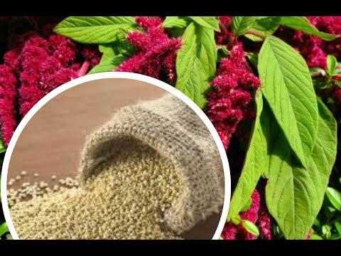 Амарант - полезные свойства и калорийность, применение и