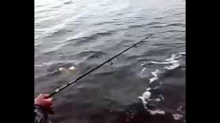 Ловля Тайменя на Сахалине рыбалка  Fishing in Sakhalin Taimen fishing(Самые смешные курьезы, приколи, и глупости которые могут случится с людьми, животными ,смотрите на нашем..., 2015-04-04T20:39:50.000Z)