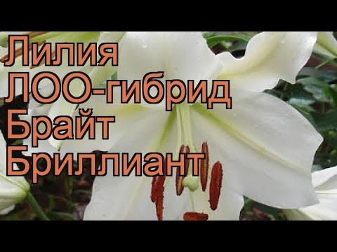 Лилия лоо-гибрид Брайт Бриллиант �� Брайт Бриллиант обзор: как сажать, луковицы лилии Брайт Бриллиант
