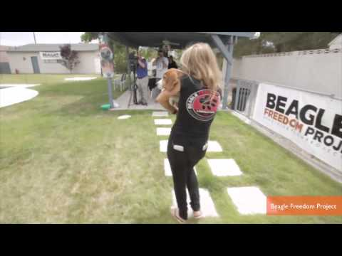 Beagles Caged for Whole Lives Walk on Grass for First Time