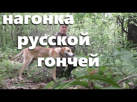 Нагонка русской гончей. 10 мая 2019
