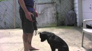 How To Train A Dog To Wear A Muzzle, With Josh Moran | Iacp Video Of The Month