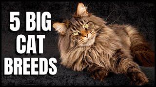5 Big Cat Breeds