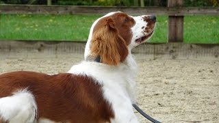 Gatsby  Welsh Springer Spaniel  3 Week Residential Dog Training at Adolescent Dogs