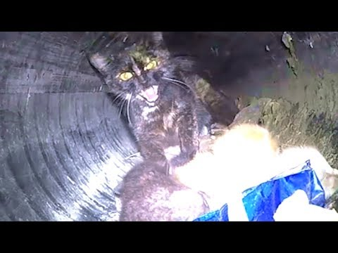 Cat, Her Kittens Rescued From Pipe Using RC Car + 60 Foot Pole | The Dodo