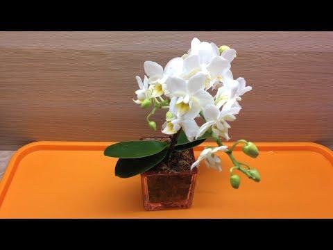 Мини фаленопсис Пересадка цветущей мини орхидеи после покупки в домашних условиях в закрытую систему