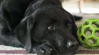 ASMR АСМР: Звук собаки, скулит щенок. The sound of the dog, whining puppy.