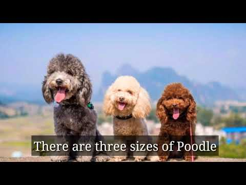 What are the poodle dog breeds size,personality and colors in English with chinese subtitle 2019
