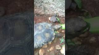 Kura-kura darat si kaki gajah bagai sisa hewan purba