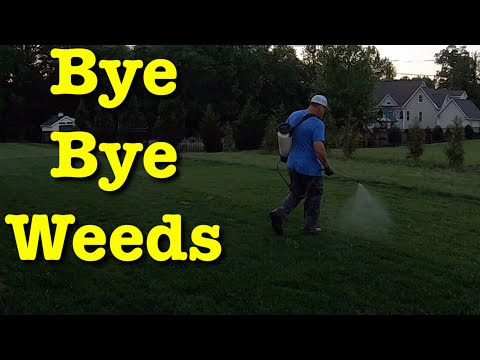 Spray Weeds In Lawn