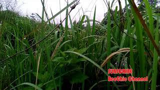 Download Mp3 Video: Relaksasi Suara Jangkrik, Begitu Merdu,  Cricket Sound