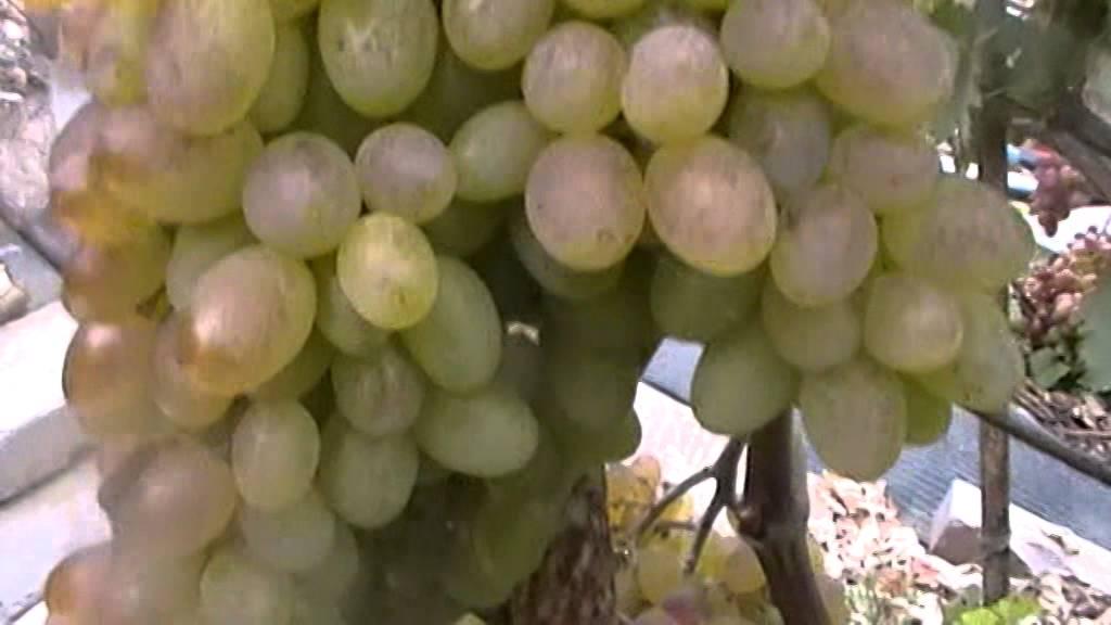 виноград кишмиш новочеркасский описание сорта фото