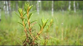 видео Лечебные свойства и противопоказания болотного багульника