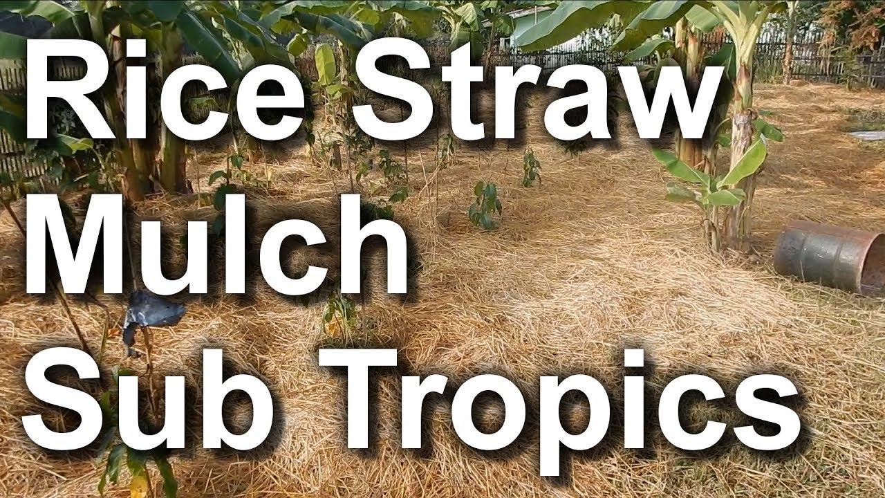 Rice Straw Mulch Utilization Sub Tropical Area Youtube