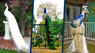 أجمل 5 طيور طاووس في العالم