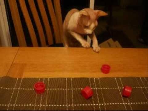 Sphynx Cat Personality Trait 4 - Intelligent