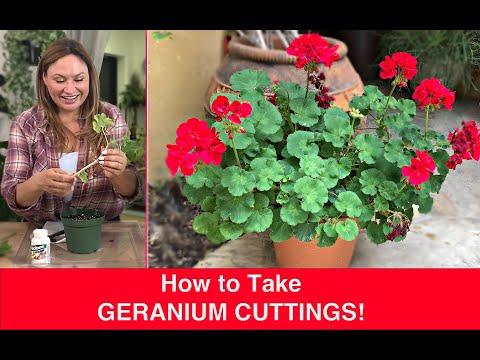 How to PROPAGATE GERANIUMS (Stem Cuttings) Ivy Geranium, Pelargonium🌿Shirley Bovshow
