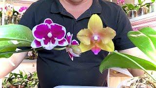 АНТИСТРЕСС для ОРХИДЕИ перед пересадкои орхидеи из мха