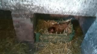 Kura wysiadywujaca jajka