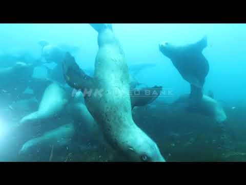 NHK VIDEO BANK - Underwater: Northern sea lions flock to a tiny island
