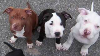 The Great American Pitbull Terrier