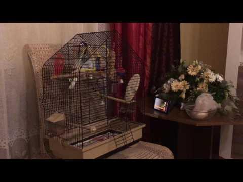 Вопрос: Как успокоить попугая?