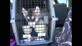 Picking Up Siberian Husky Puppy Nikkita Blu At The Airport