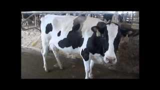 Pour Enfants - Races de vaches laitières vidéo