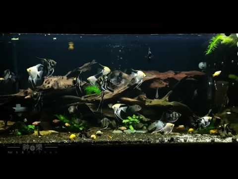 Angel Fish Community
