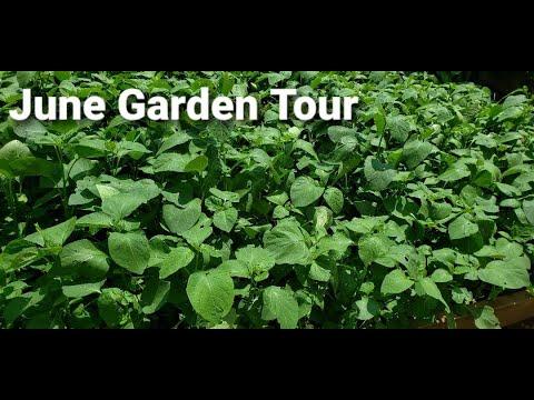 Download Garden Tour in June - Growing Huckleberry (Njama Njama)