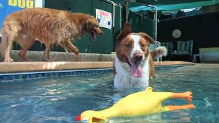 Big Yellow Chicken Teaches Golden Retriever & Akita Border Collie Mix  How To Swim In Swim