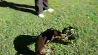 Dachshund Playing With Mini Pinscher