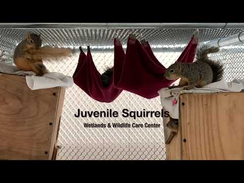 Squirrels At Play At The Wetlands & Wildlife Care Center In Huntington Beach