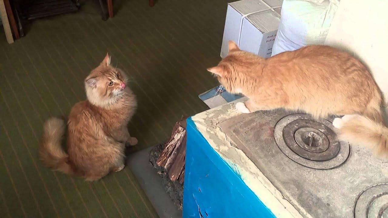 Рыжий кот и кошка. Первое знакомство #2 - YouTube