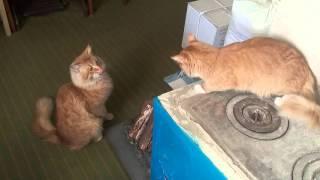 Рыжий кот и кошка. Первое знакомство #2
