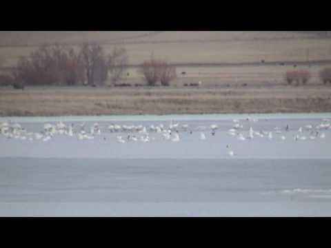 Snow Geese Migration - Freezeout Lake Montana - YouTube
