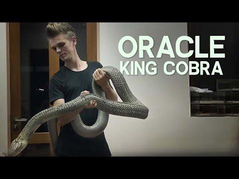 ORACLE THE HUGE KING COBRA!