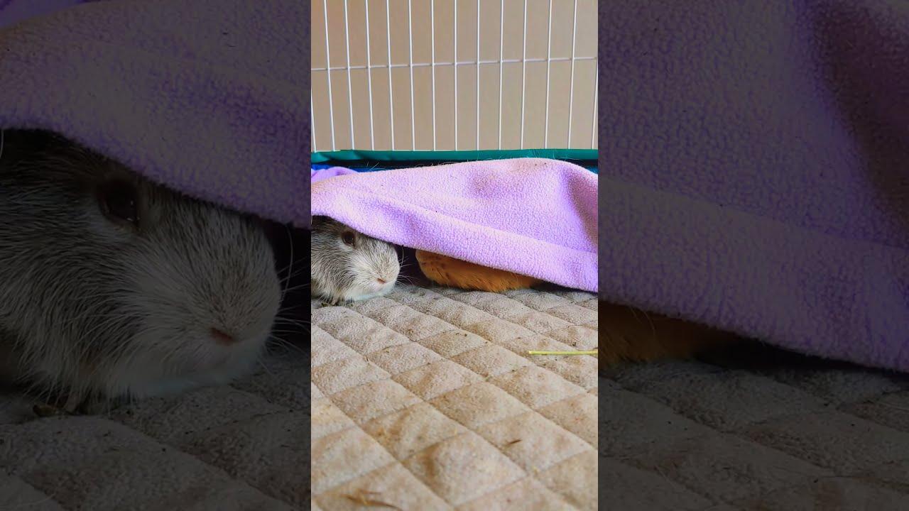 Lazy Sunday guinea pigs #shorts
