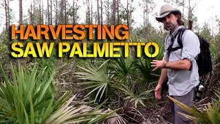 How To Eat Saw Palmetto