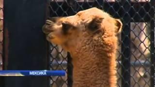 В зоопарке Мехико родился одногорбый верблюд (видео)