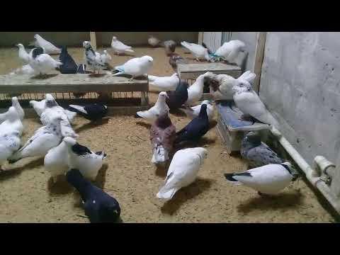 Как глистогонить голубей.29.01.18г.