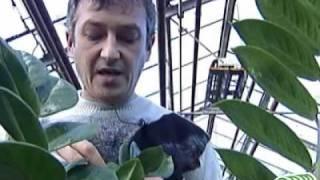 59 Комнатные растения - лечение(Видео из серии