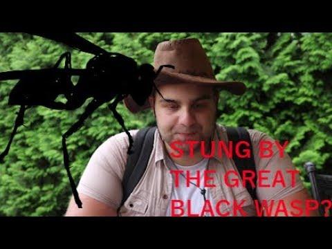 STUNG BY GREAT BLACK WASP - (Brave Wilderness parody)
