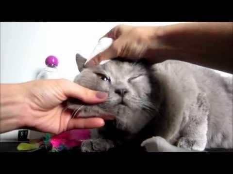 how to bathe my British Shorthair?
